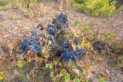 Top view of Neglected Vineyard with black grapes bunch Stock Photos