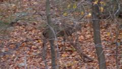 Forest - Deer Makes Narrow Escape Stock Footage