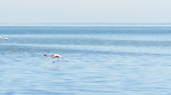 Flamingos flying on the sea super slow motion1 Stock Footage