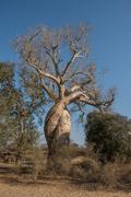 Baobab amoureux, two baobabs in love, madagascar Stock Photos