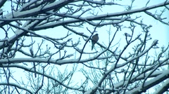 Winter - Morning Dove - Snow Covered Tree Stock Footage