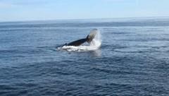Humpback Whale half out of Water with Tail Stock Footage