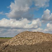 agriculture, sugar beet, root harvesting in field - stock photo