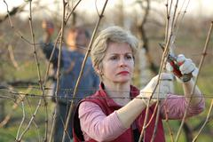 agriculture, pruning in vineyard - stock photo