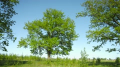 A group of old oak trees in the meadow. summer rural landscape Stock Footage