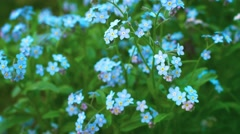 Myosotis blue flowers (forget-me-nots) close up Stock Footage