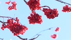 Rowan berries frozen Stock Footage