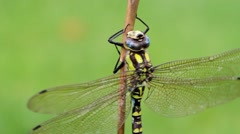 Southern Hawker Dragonfly - stock footage