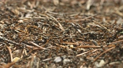 Wild red ants at work. shallow depth of field Stock Footage