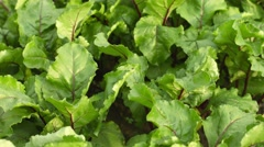 Beets in the garden - green leaves swaying in the wind Stock Footage