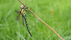 Southern Hawker Dragonfly Stock Footage