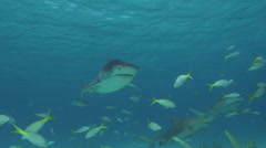 Tiger Shark Pass with Other Sharks Stock Footage
