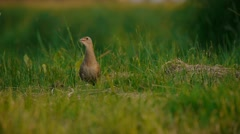 Stock Video Footage of Corncrake calling in a green grass, then running
