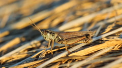 Closeup of cricket on hay bale. Saskatchewan, Canada. Stock Footage