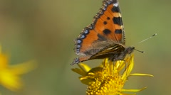 Blackleg Tortoiseshell butterfly takes flight from a Mountain Arnica flower. Stock Footage