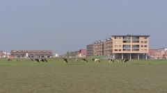 Cattle grazing in front of new neighbourhood - Urbanization in the countryside - stock footage