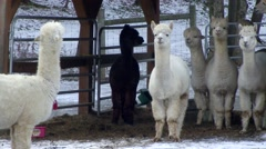 Winter - Group of Llamas in the Barn - stock footage
