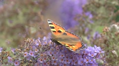 Nymphalis urticae, Small Tortoiseshell butterfly on summer lilac - close up Stock Footage