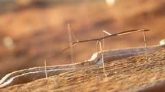 Phibalosoma phyllinum - Bicho Pau - stock footage