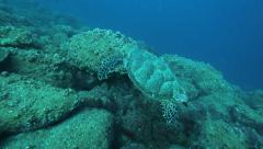 Hawksbill turtle close to the reef Stock Footage