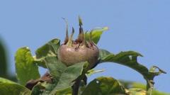 Mespilus germanica, medlar or common medlar, pome fruit Stock Footage