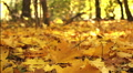 Autumn wood. Yellow leaves close up . Dolly shot HD Footage