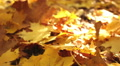 Beauty of  autumn wood. Yellow leaves close up . Dolly shot HD Footage