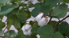 Cotton Plant Budding Stock Footage