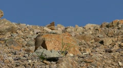 Slow motion female Black redstart on the rocks hunting flies. Stock Footage