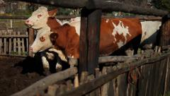 5. Cow farm. Cows in the corral. Heifers playing and scratched. Medium shot. Stock Footage