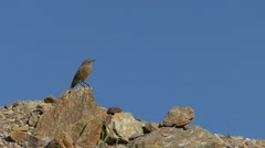 Slow motion female Black redstart on the rocks flying towards the camera. Stock Footage