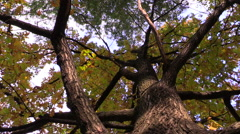 Autumn in the park. Turn yellow in oak, view from the bottom up. Stock Footage
