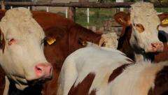 9. Cow farm. Cows in the corral. Heifers through the fence. Close up. Stock Footage