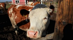 3. Cow farm. Cows in the corral. Heifers sniffing through the fence. Close up. Stock Footage