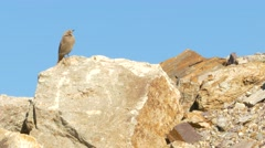 A female Black redstart on the rocks stands in blue sky. Stock Footage