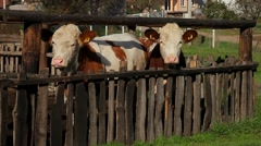12. Cow farm. Cows in the corral. Heifer scratched on the fence. Medium shot. Stock Footage