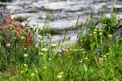 wildflowers on a background of the rapid river - stock photo