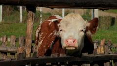 13. Cow farm. Cows in the corral. Heifer scratched on the fence. Tracking shot. Stock Footage