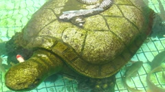 Clear pool and swimming fish, and a statue of the giant turtle - stock footage