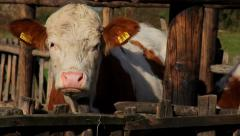 15. Cow farm. Cows in the corral. Heifer scratched on the wooden fence. Close up Stock Footage