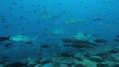 Schooling hammerhead sharks swim past - stock footage