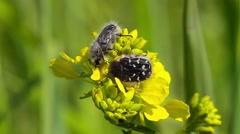 Hairy Beetle, Epicometis hirta Stock Footage