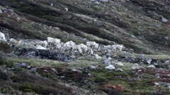 Reindeer lingering in Mountains Stock Footage