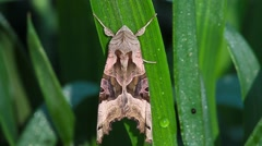The Angle Shades Moth on a leaf, Phlogophora meticulosa Stock Footage