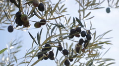 Olive Branches Stock Footage