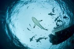 Oceania, Micronesia, Yap, Grey reef sharks, Carcharhinus amblyrhynchos, upward Stock Photos