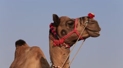 Camel at the Pushkar Fair , India - stock footage