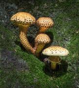 Fungi - Shaggy scalycap - Pholiota squarrosa Stock Photos