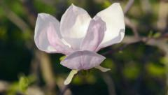 Magnolia flower blooming in springtime. Stock Footage