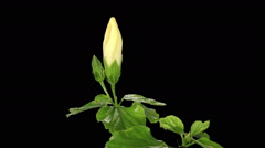 Blooming white Hibiscus flower buds ALPHA matte, FULL HD Stock Footage